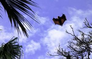 Batmaaaan!, Flying Foxes, Botanic Garden, Sydney
