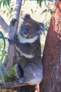 Koala, Yanchep National Park