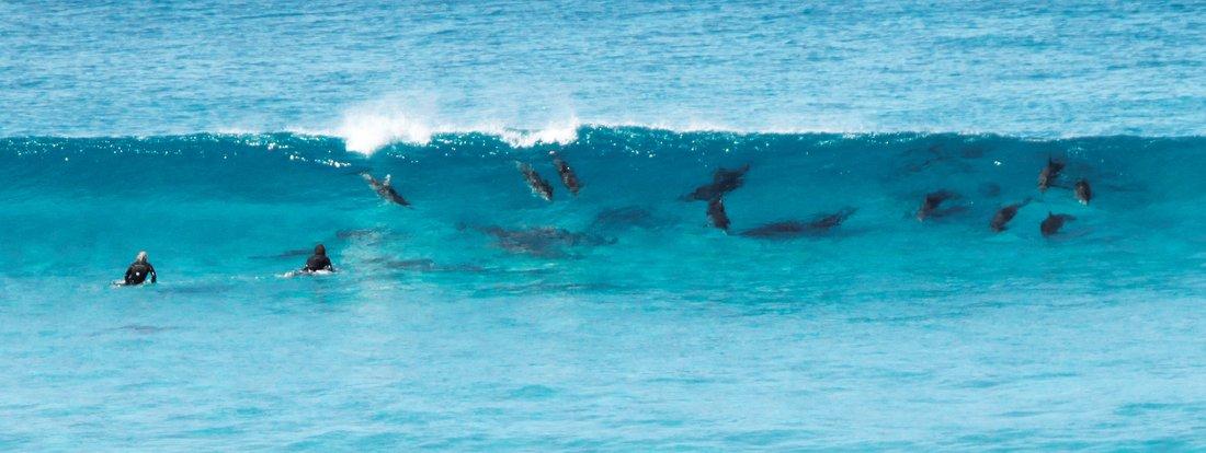 surfin dolphins, esperance