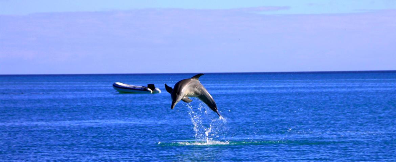 Delfine Westküste von Australien