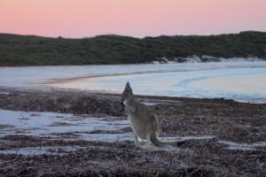 Känguru am strand Australien
