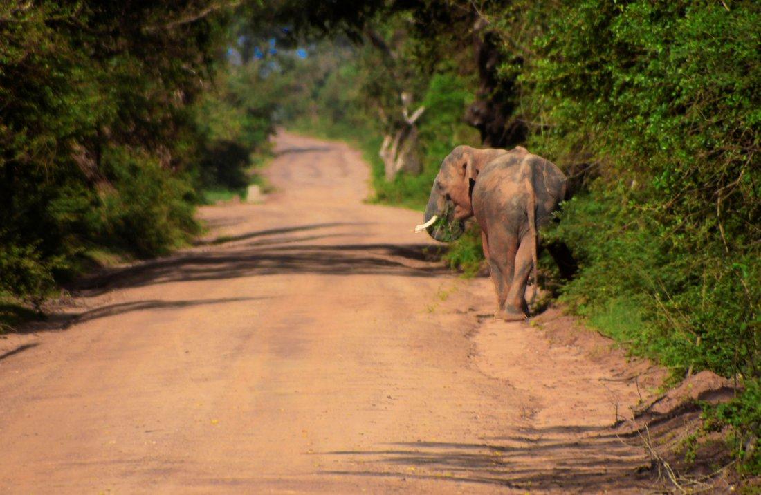 Yala Nationalpark, Elephant, Sri Lanka