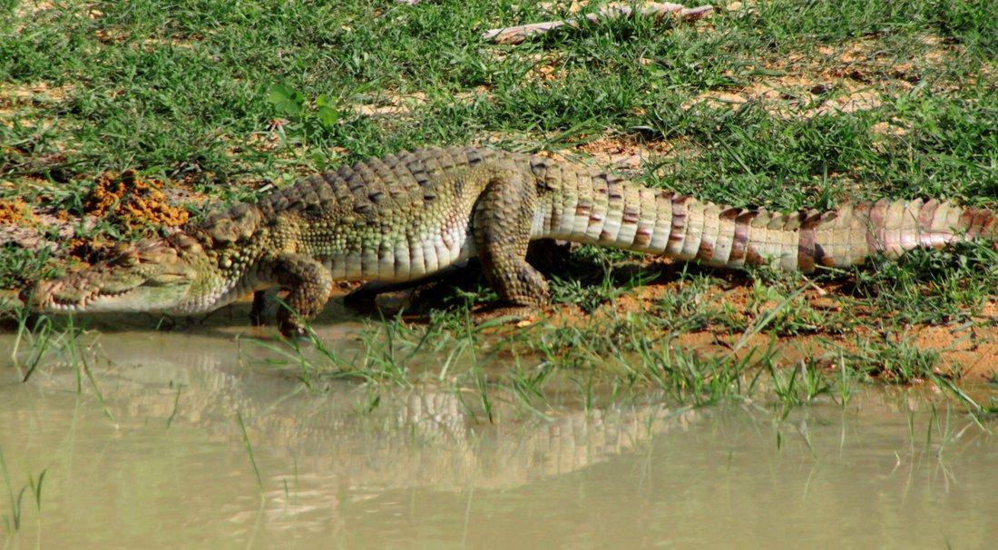 Yala Nationalpark, Crocodile, Sri Lanka